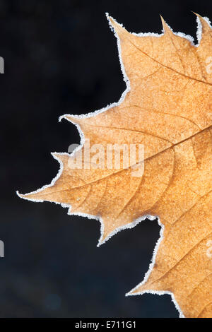 A large maple leaf with the light shining through, in autumn. - Stock Photo