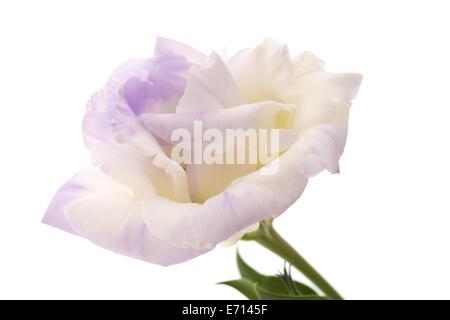 variegated eustoma flower isolated on white - Stock Photo