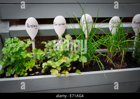 Young herb plants being grown in a window box. - Stock Photo
