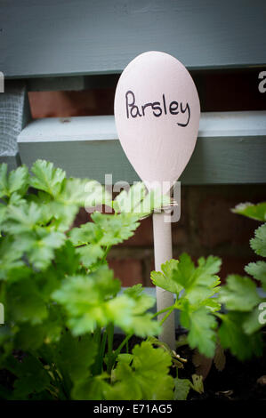 Young parsley plants being grown in a window box. - Stock Photo