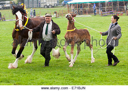 Mare and foal Shire horse display Bingley Show Bingley West Yorkshire England UK - Stock Photo