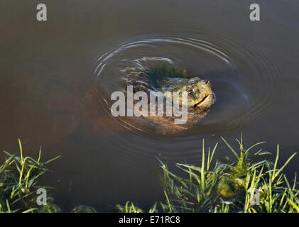 A close up of the face of a snapping turtle swimming in shallow water. - Stock Photo