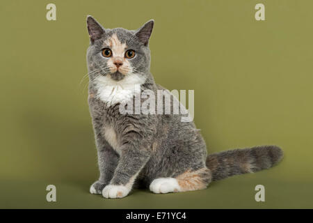 British Shorthair kitten, 18 weeks, blue, cream and white fur colours - Stock Photo