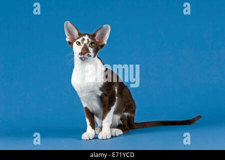 Oriental Shorthair cat - Stock Photo