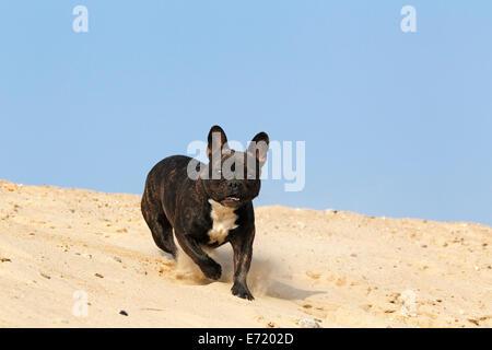 French Bulldog, running on sand - Stock Photo