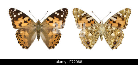 Painted Lady Vanessa cardui - Stock Photo