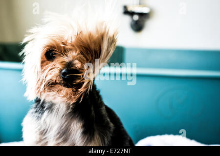 Pampered pooch at a dog grooming salon - Stock Photo