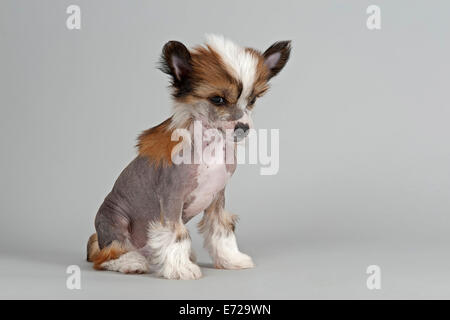 Chinese Crested Dog, hairless, puppy, 7 weeks - Stock Photo