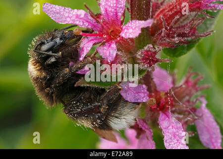 Buff-tailed Bumblebee or Large Earth Bumblebee (Bombus terrestris), Hesse, Germany - Stock Photo