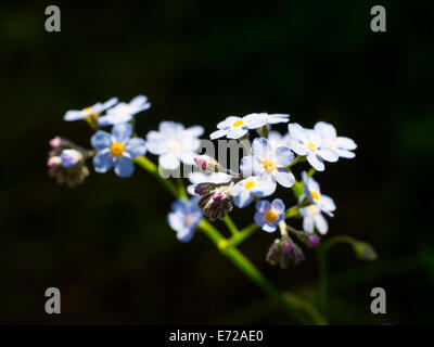 Forget-me-not close-up. - Stock Photo