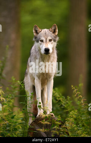 The Gray or Grey Wolf (Canis lupus) standing on a log looking out - Stock Photo