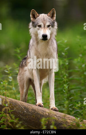 The Gray or Grey Wolf (Canis lupus) standing on a log - Stock Photo