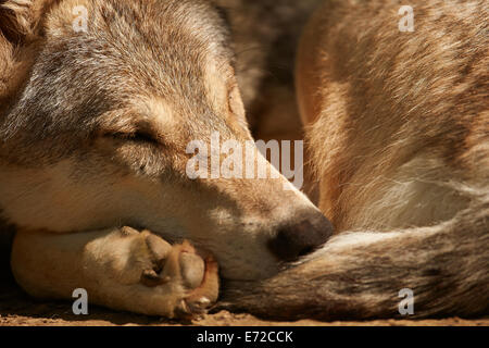 A sleeping Gray or Grey Wolf (Canis lupus) - Stock Photo