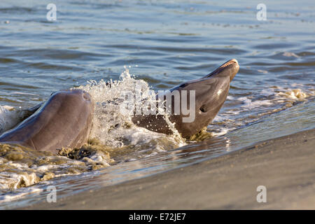 Atlantic bottlenose dolphins feed on fish they corralled onto the beach during stand feeding at Captain Sam's Inlet - Stock Photo