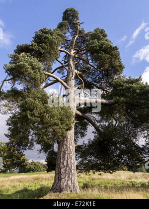 Mature scots pine pinus sylvestris snapped in half by for Mature pine trees
