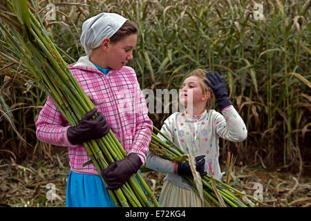 USA - Tennessee - Muddy Pond - Young girls harvesting sorghum in Muddy Pond, a mennonite farming community in the - Stock Photo