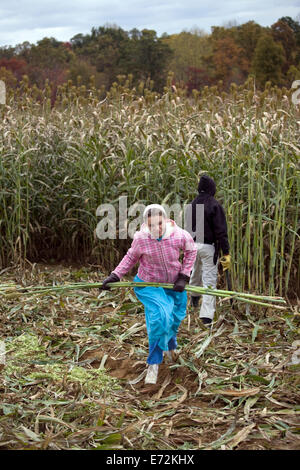 USA - Tennessee - Muddy Pond - Teenagers harvesting sorghum in Muddy Pond, a mennonite farming community in the - Stock Photo
