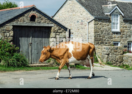 A Jersey Cow walking through the Hamlet of Treen near Porthcurno in Cornwall, UK - Stock Photo