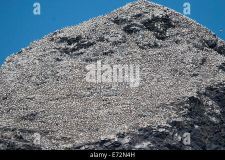 Summit of Stac Lee and gannet colony, St Kilda - Stock Photo