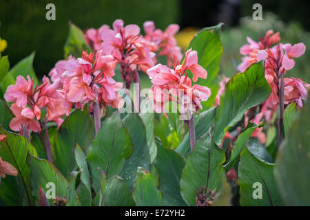Pink canna lily flowers - Stock Photo