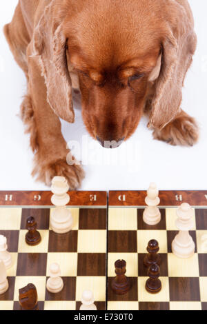English cocker spaniel dog playing chess, isolated on white background. - Stock Photo