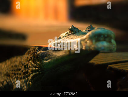 Crocodile watching and floating on the water surface in the aquarium - Stock Photo