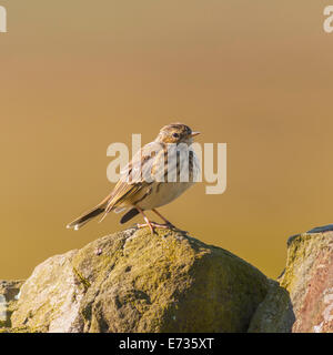 A Meadow Pipit ( Anthus pratensis ) in moorland, Yorkshire Dales, England, Uk - Stock Photo