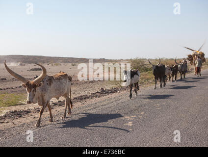 Afar Tribe Man With His Camels And Cows, Afambo, Ethiopia - Stock Photo