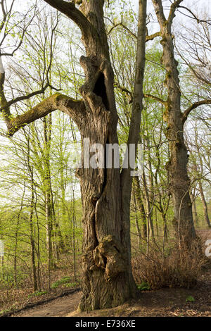 Old giant trees Tilia Linden alte Baeume spring - Stock Photo