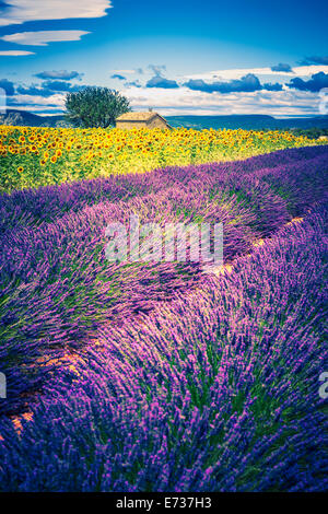 Lavender and sunflower field with tree in France, Europe - Stock Photo