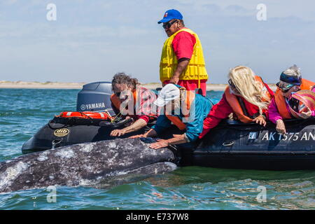 California gray whale (Eschrichtius robustus) with excited whale watchers in Magdalena Bay, Baja California Sur, - Stock Photo