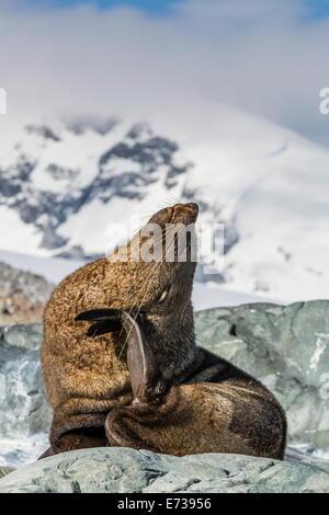 Adult Antarctic fur seal (Arctocephalus gazella), Danco Island, Antarctica, Southern Ocean, Polar Regions - Stock Photo