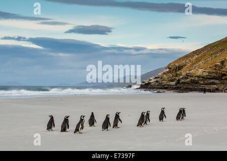 Magellanic penguins (Spheniscus magellanicus) returning to the sea to feed on Saunders Island, West Falkland Islands - Stock Photo