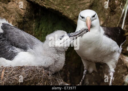 Black-browed albatross chick in nest being fed by adult on Saunders Island, Falkland Islands, UK Overseas Protectorate - Stock Photo