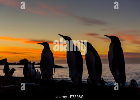 King penguin silhouetted at sunrise at breeding colony at Gold Harbor, South Georgia, UK Overseas Protectorate - Stock Photo
