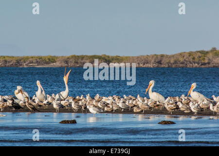 American white pelicans (Pelecanus erythrorhynchos) amongst other shorebirds in Magdalena Bay, Baja California Sur, - Stock Photo