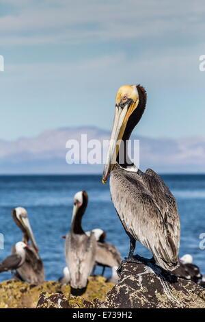Brown pelican (Pelecanus occidentalis) portrait at Isla Angel de la Guarda, Baja California, Mexico, North America - Stock Photo