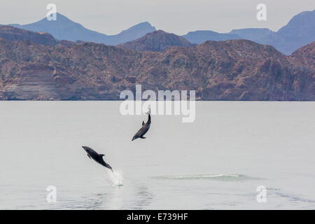 Adult bottlenose dolphins (Tursiops truncatus) leaping in the waters near Isla Danzante, Baja California Sur, Mexico - Stock Photo