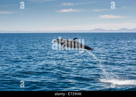 Adult bottlenose dolphin (Tursiops truncatus) leaping in the waters near Isla Danzante, Baja California Sur, Mexico - Stock Photo
