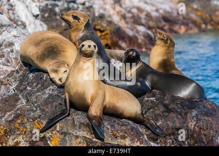 California sea lions (Zalophus californianus) hauled out on Isla Rasita, Baja California Norte, Mexico, North America - Stock Photo