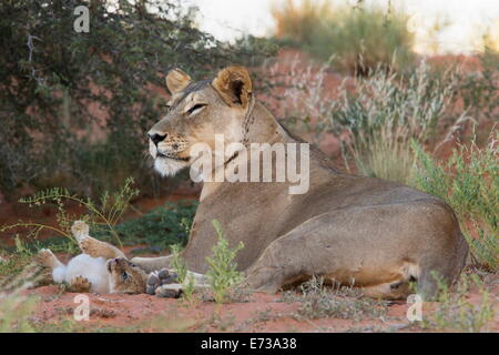 Lioness (Panthera leo) with small cub, Kgalagadi Transfrontier Park, South Africa, Africa - Stock Photo