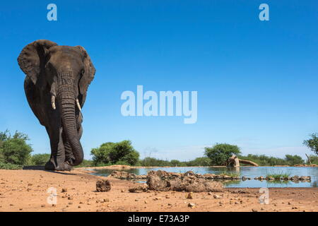 African elephant (Loxodonta africana) at waterhole, Madikwe Game Reserve, North West Province, South Africa, Africa - Stock Photo