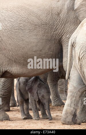 African elephant (Loxodonta africana) new-born calf, Addo Elephant National Park, South Africa, Africa - Stock Photo