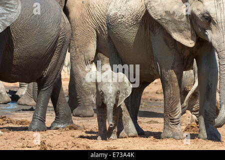 African elephant baby with herd at Hapoor waterhole, Addo Elephant National Park, Eastern Cape, South Africa - Stock Photo