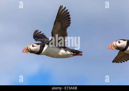 Puffin (Fratercula arctica) flying, Farne Islands, Northumberland, England, United Kingdom, Europe