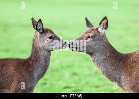 Red deer hind with young (Cervus elaphus), Arran, Scotland, United Kingdom, Europe - Stock Photo