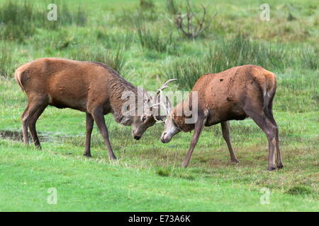 Red deer stags sparring (Cervus elaphus), Arran, Scotland, United Kingdom, Europe - Stock Photo