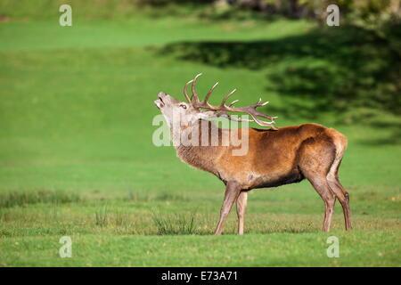 Red deer stag (Cervus elaphus) roaring, Arran, Scotland, United Kingdom, Europe - Stock Photo