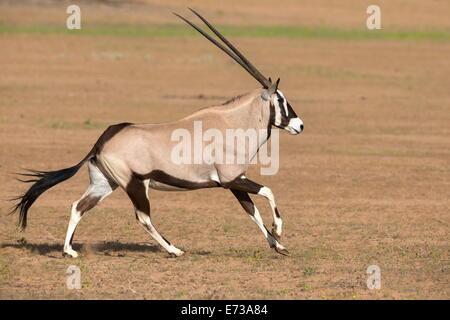Gemsbok (Oryx gazella gazella) running, Kgalagadi Transfrontier Park, Northern Cape, South Africa, Africa - Stock Photo