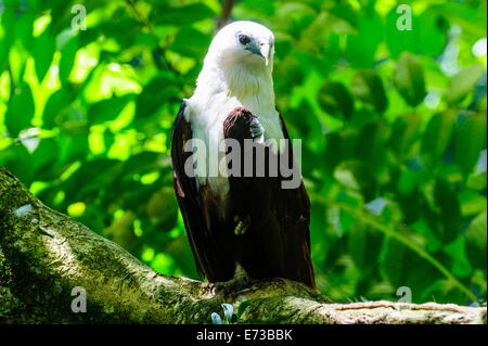 White-bellied sea eagle (Haliaeetus leucogaster), Davao, Mindanao, Philippines, Southeast Asia, Asia - Stock Photo